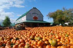 собираем тыквы в Канаде, ферма собери сам в Канаде, хэллоуин