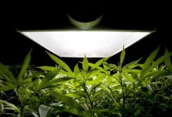 в Канаде студентов научат выращивать марихуану