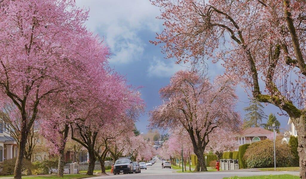 Цветение вишни в Ванкувере, сакура, весна в Ванкувере