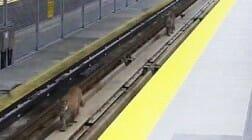 пумы в метро в Канаде (фото)