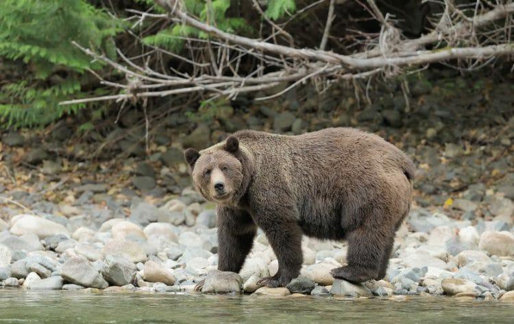 что делать при атаке медведя