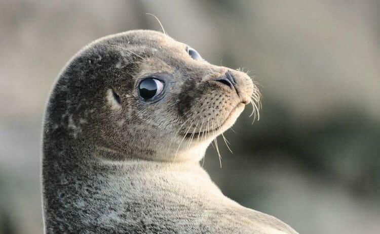 Коммерческая охота на тюленей в Канаде
