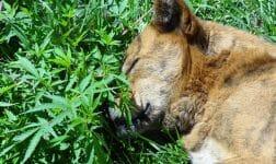 марихуана для животных