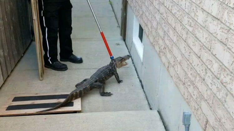 крокодил пробрался в дом