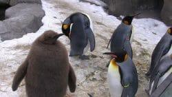 замерзли пингвины
