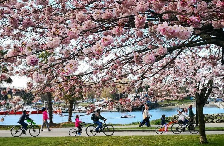 цветение сакуры Ванкувер